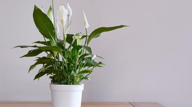 Barış Zambağı Yelken Çiçeği Ofis Çiçeği
