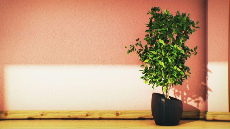 Ficus Bitkisi Ofis Çiçeği